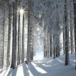Coniferous forest on a winter morning — Stock Photo