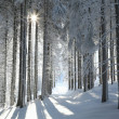Coniferous forest on a winter morning — Foto Stock