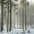 Coniferous forest on a winter morning — Stock Photo #8846092