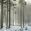 Coniferous forest on a winter morning — Stockfoto