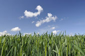 Field of Young Corn with a Blue Sky — Stock Photo