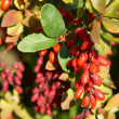 Barberry — Stock Photo #8546412