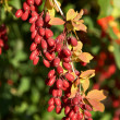 Barberry — Stock Photo #9273386