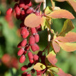 Barberry — Stock Photo #9641273