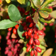 Barberry — Stock Photo #9700634