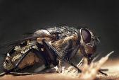 Macro fly — Stock Photo