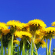 Beautiful spring flowers-dandelions in a wild field. — Stock Photo