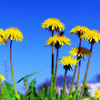 Stock Photo: Beautiful spring flowers-dandelions in a wild field.