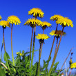 Stock Photo: Beautiful spring flowers-dandelions in wild field.