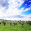 Blossom apple-trees garden at the spring. Sun at the sky. - Stock Photo