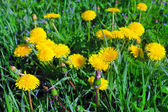 Beautiful spring flowers-dandelions in a wild field. Early morni — Stock Photo
