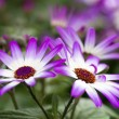 Purple Flowers — Stock Photo #9564321