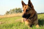 Alsatian dog — Stock Photo