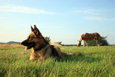 Dog - Alsatian — Stock Photo