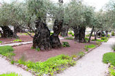 The ancient olive tree in Gethsemane Garden in Jerusalem — Stock Photo