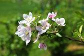 цветы красивые apple — Стоковое фото