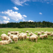 Herd of sheep — Stock Photo #8039742