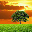 Oak Tree in field and orange sky — Stock Photo