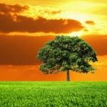 Oak Tree in field and orange sky — Stock Photo