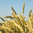 Field of golden wheat and blue sky — Stock Photo #8377865