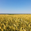 Summer wheat field — Stock Photo