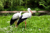 White stork and green nature — Stock Photo