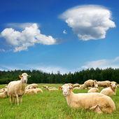 Herd Sheep on beautiful mountain meadow — Stock Photo