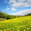 Beautiful spring landscape with a dandelion meadow — Stock Photo