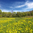 Stock Photo: Spring shot with a dandelion meadow