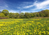 Spring shot with a dandelion meadow — Stockfoto