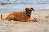 Dog on the beach — Stock Photo