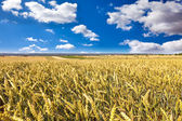 Summer wheat field — Stockfoto
