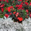 Multicolored flowerbed. — ストック写真