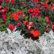 Stock Photo: Multicolored flowerbed.