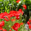 Poppies on green field - Foto Stock