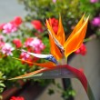 Bird of Paradise — Stock Photo #10344142