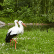 Stock Photo: White stork