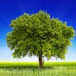 Tree on the field — Stock Photo #10516853