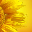 Sunflower banner — Stock Photo #7980643