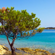 Mediterranean pine - Stock Photo