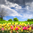 Tulips and spring meadow - Stock Photo