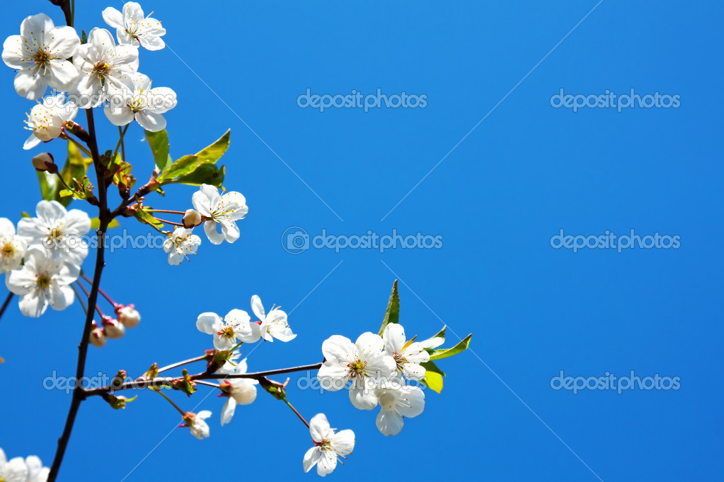Spring blossom — Stock Photo #8529948