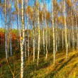 Birch forest — Stock Photo