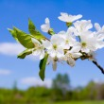 Apple blossom on blue sky — Stock Photo #8829604