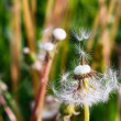 dandelion — Stock Photo #8905024