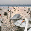 Swans on winter at sunset — Stock Photo