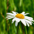 White Daisy — Stock Photo #9075777