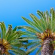 Palm tree on blue sky — Foto de Stock