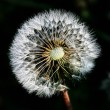 Dandelion background — Stock Photo