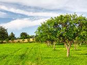 Owoc drzewa w sadzie lato — Zdjęcie stockowe
